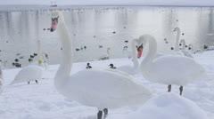 Mute Swan - Cygnus olor, Zagreb, Jarun lake Stock Footage