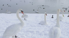 Mute Swans, Zagreb, Jarun lake Stock Footage