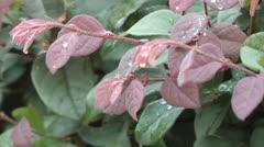 Stock Video Footage of Rain water on leaves