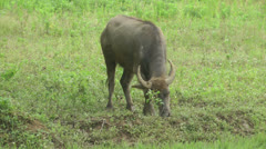 Stock Video Footage of Small water buffalo