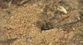 Mining Bee (Andrena sp.) - Female 1 HD Footage