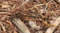 Ashy Clubtail (Gomphus lividus) Dragonfly - Male 1 Stock Footage
