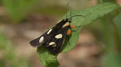 Eight-spotted Forester (Alypia octomaculata) Moth Stock Footage