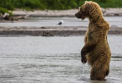 Stock Photo of The brown bear fishes