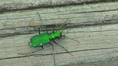 Six-spotted Tiger Beetle (Cicindela sexguttata) 4 Stock Footage
