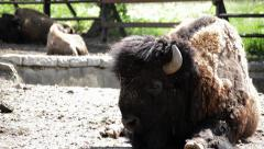 American buffalo Stock Footage