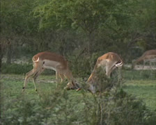 Impala (Aepyceros melampus) bucks fight - stock footage