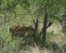 Impala herd (Aepyceros melampus) browsing in African bushes Stock Footage