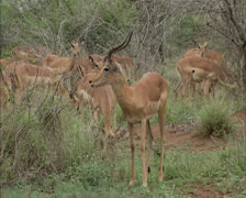 dominant Impala buck (Aepyceros melampus) with herd in african landscape - stock footage