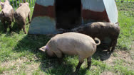 Stock Video Footage of Pigs outside