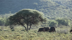 African buffalos Stock Footage