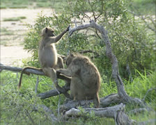 Chacma Baboon or Cape Baboon (Papio ursinus) adult grooming juvenile Stock Footage