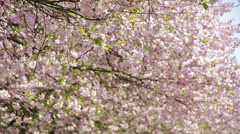 Japanese cherry trees - blossom leafs flying in wind Stock Footage