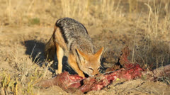 Scavenging black-backed Jackal, African wildlife safari, South Africa - stock footage