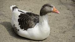 Grey goose sitting on bottom Stock Footage