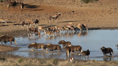 Wildebeest and antelopes at a waterhole Stock Footage