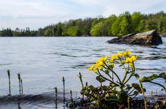 Marsh marigold at calm lake Stock Photos