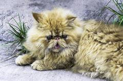 Persian cat Kuvituskuvat