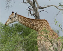 Giraffe (Giraffa camelopardalis) on African savanna, with oxpecker picking ticks Stock Footage