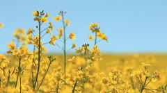 Rapeseed flower - stock footage