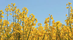 Rapeseed against blue sky Stock Footage
