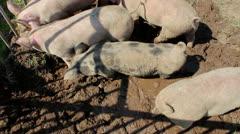 Pigsty Stock Footage