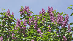 branch of a pink lilac waves on a wind - stock footage