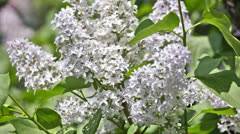 branch of a blue lilac waves on a wind - stock footage