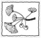 Stock Illustration of ginkgo biloba hand-drawn branch with leaves
