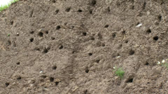 Sand Martin (riparia riparia) breeding colony flying in - out nest hole Stock Footage