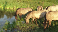 Large herbivore in nature reserve, Konik horse herd in wetland - stock footage