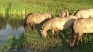 Large herbivore in nature reserve, Konik horse herd in wetland Stock Footage
