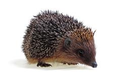 Young hedgehog Stock Photos