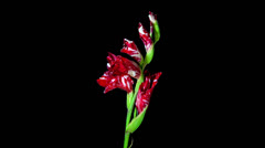Red and White Gladiolus blooming Stock Footage