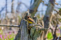 Cedar Waxwing in a forest Stock Photos