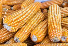 Yellow dried corn Stock Photos