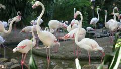 Little Flamingos Stock Footage