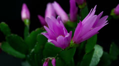 Easter cactus Flower Opening and Closing Timelapse Stock Footage