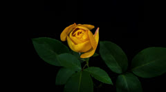 Yellow Rose Blooming Timelapse Stock Footage