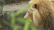 Stock Video Footage of Lion