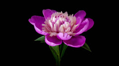 Pink peony flower blooming timelapse - stock footage