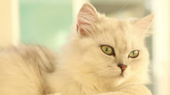 Green Eyes of a Persian cat Stock Footage