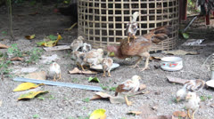 Chicken family at the up-country of Thailand Stock Footage