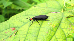 Beetles eating leaves Stock Footage