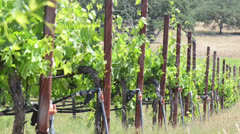 Grape Vines in a Row during Spring Stock Footage
