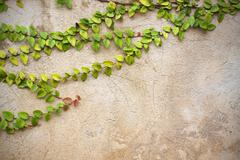 The green creeper plant on vintage wall Stock Photos
