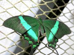 butterfly (papilio palinurus) - stock photo