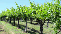 Grape Vines in a row Stock Footage