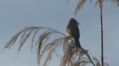 Singing bird Stock Footage