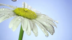 Drops of dew on a daisy Stock Footage